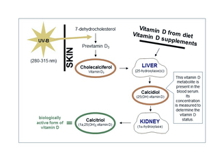 The vitamin D metabolism